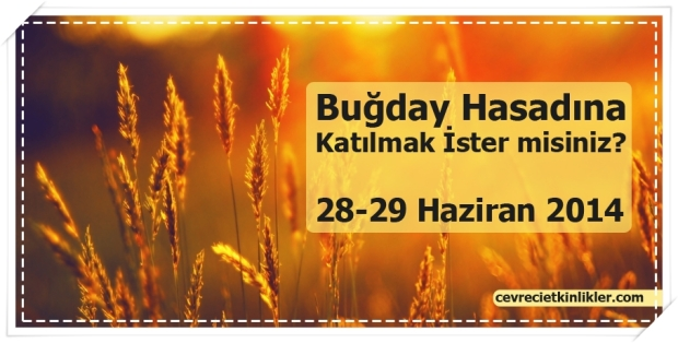Buğday Hasadına Katılmak İster misiniz?